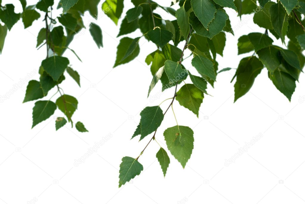Birch leaves on white background