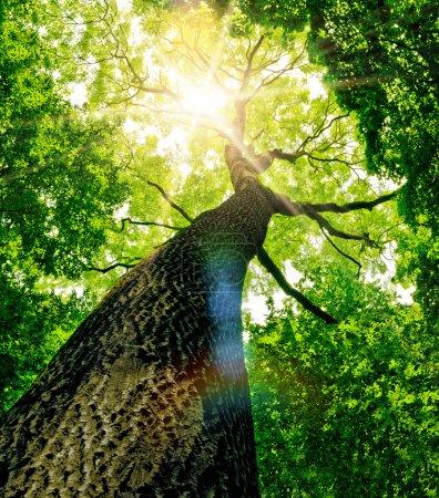 Photo pour Des arbres forestiers. nature vert bois lumière du soleil milieux . - image libre de droit
