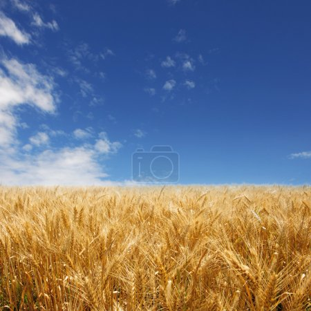 Golden wheat field against deep blue sky