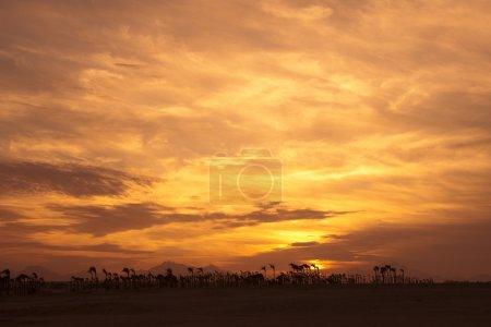 coucher de soleil dans le désert - silhouettes de palm