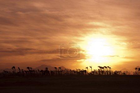 Photo pour Coucher de soleil dans le désert - silhouettes de palm - image libre de droit