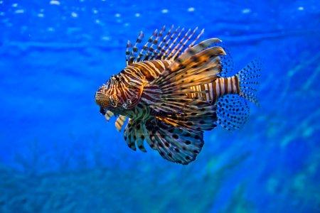 Photo pour Poisson lion nageant sous l'eau - image libre de droit
