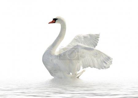 Photo pour Cygne sur la surface blanche . - image libre de droit