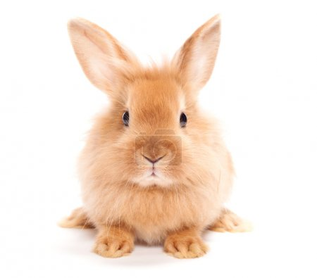 Photo for Rabbit isolated on a white background - Royalty Free Image