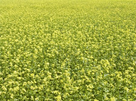 Photo for The beautiful rape field background, agriculture theme - Royalty Free Image