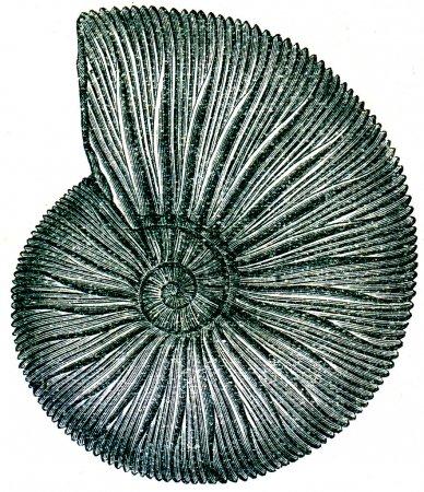 Fossils Periphinctes