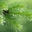 Branch of a coniferous tree with raindrops...