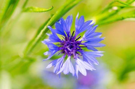 Photo pour Phyteuma fleur vue de près - image libre de droit