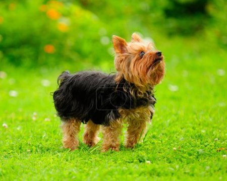 Yorkshire Terrier Dog on the Grass in Summer