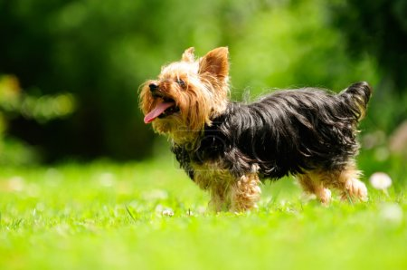 Yorkshire Terrier Dog Sticking Its Tongue Out