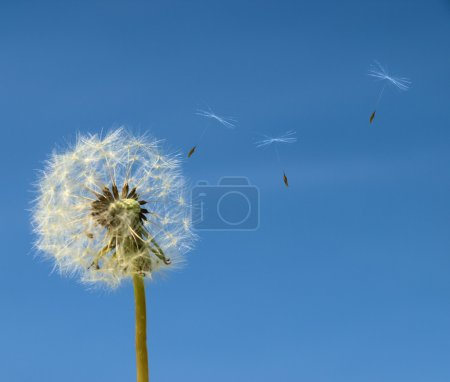 Dandelion with seed flying away over b;ue sky....