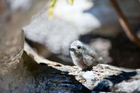 White tern baby