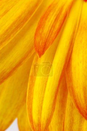 Photo pour Gerbera jaune - image libre de droit
