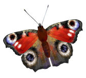 Illustration of European Peacock butterfly