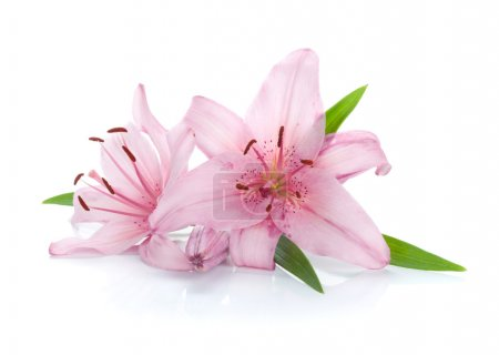 Two pink lily flowers. Isolated on white backgroun...