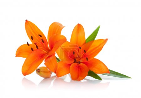 Photo pour Deux Lys orange. isolé sur fond blanc - image libre de droit