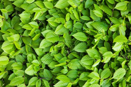 Photo for A background of green leaves - Royalty Free Image