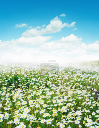 Photo for Daisy field morning sunlight - Royalty Free Image