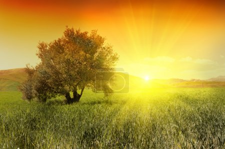 Photo pour Olivier dans un domaine en vert pendant le lever du soleil - image libre de droit