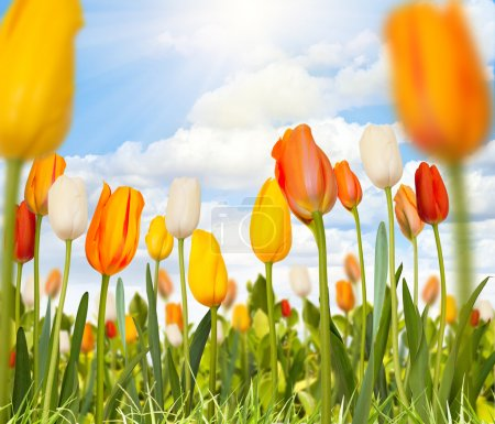 Photo for Tulips in a green field - Royalty Free Image