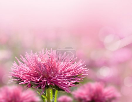 Beautiful pink aster