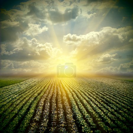 The fine cabbage field with sky