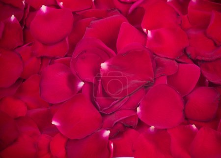 Background made of rose petals