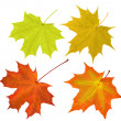 Four maple leaves isolated on white background...