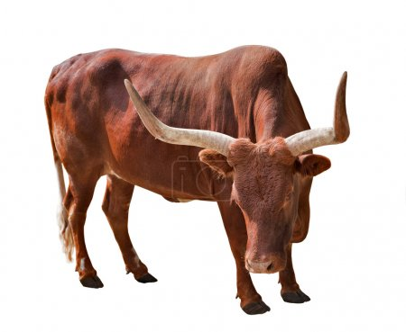 Brown bull with large horns
