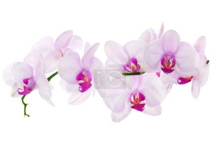 Photo pour Fleurs d'orchidée rose clair isolés sur fond blanc - image libre de droit