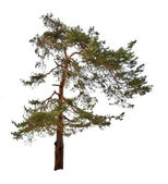 Single green pine tree isolated on white