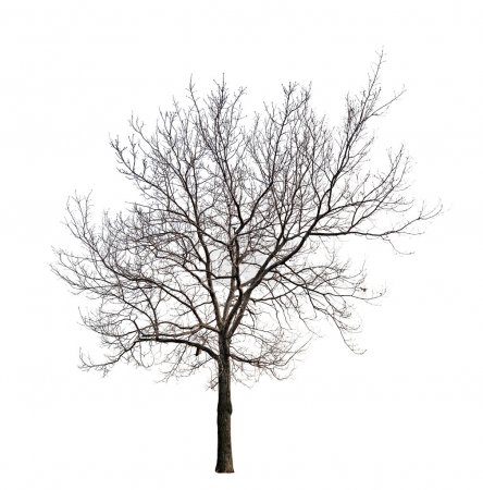 Photo pour Arbre sans feuilles isolé sur fond blanc - image libre de droit