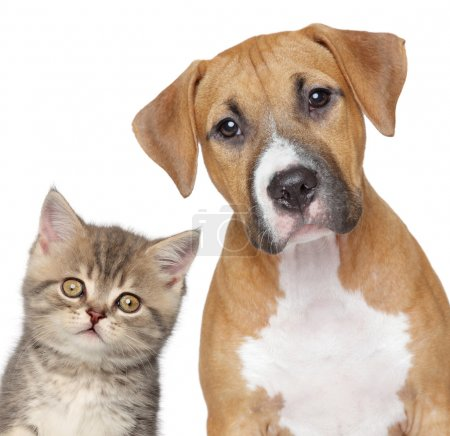 Kitten and puppy. Close up portrait on white backg...