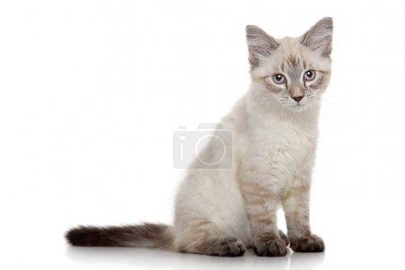 Siberian kitten on a white background