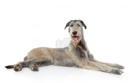 Irish Wolfhound on white background