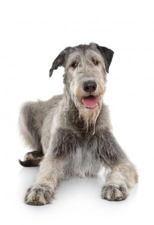 Irish Wolfhound dog on white background
