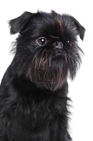 Photo for Brussels griffon portrait on a white background, isolated - Royalty Free Image