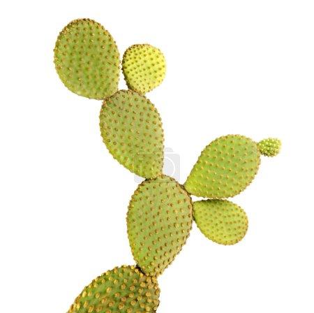Photo for Opuntia cactus isolated on white background - Royalty Free Image