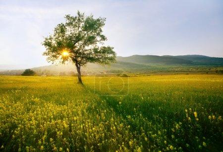 Photo pour Seul arbre dans les terres agricoles ensoleillé près du village ; HDR paysage coucher de soleil - image libre de droit