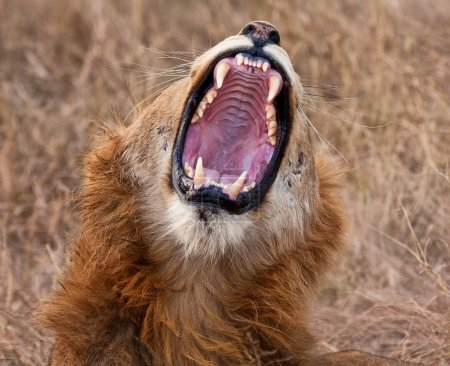 Photo for Young male lion yawning with big, sharp teeth - Royalty Free Image