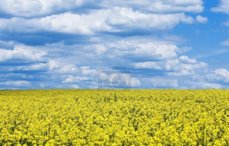 Bright yellow flower field against the blue cloudy sky
