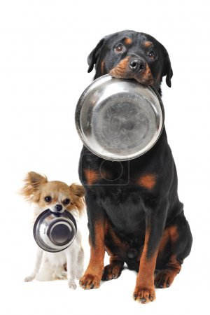 Photo for Portrait of a cute purebred rottweiler and chihuahua and his food bowl - Royalty Free Image