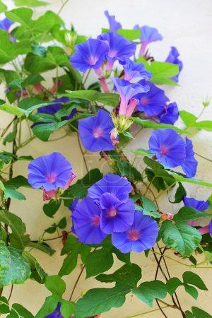 Photo pour Photo d'ipomea bleu sur un mur - image libre de droit