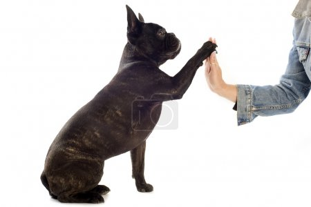 Photo for A french bulldog giving his paw to his owner - Royalty Free Image