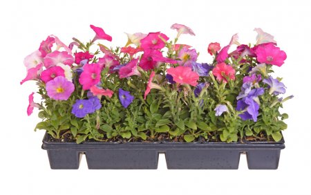 Flat of colorful petunia seedlings ready for transplanting