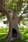 Ancient Sycamore tree in Jericho, Israel
