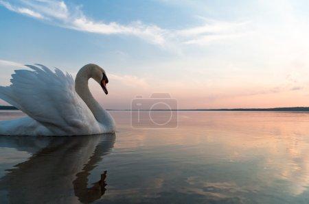 Photo pour Cygne sur l'eau du lac bleu en journée ensoleillée, les cygnes sur étang, série nature - image libre de droit