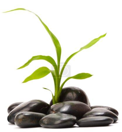 Photo pour Feuille verte avec des pierres noires - image libre de droit