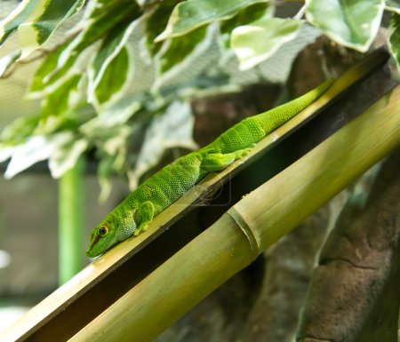 A green Gecko on bamboo