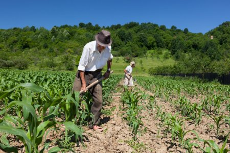 Photo for Family of rural workers weeding on the corn field with the forest in the background - Royalty Free Image